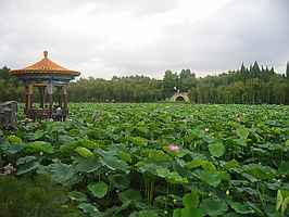 Lilly-covered lake, Da Guan Park, Kunming